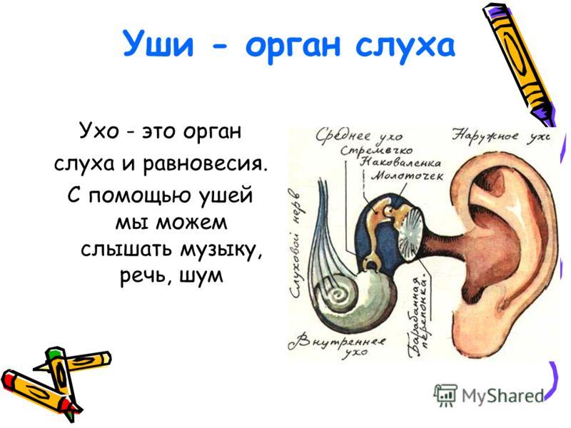 Уши - орган слуха Ухо - это орган слуха и равновесия. С помощью ушей мы можем слышать музыку, речь, шум