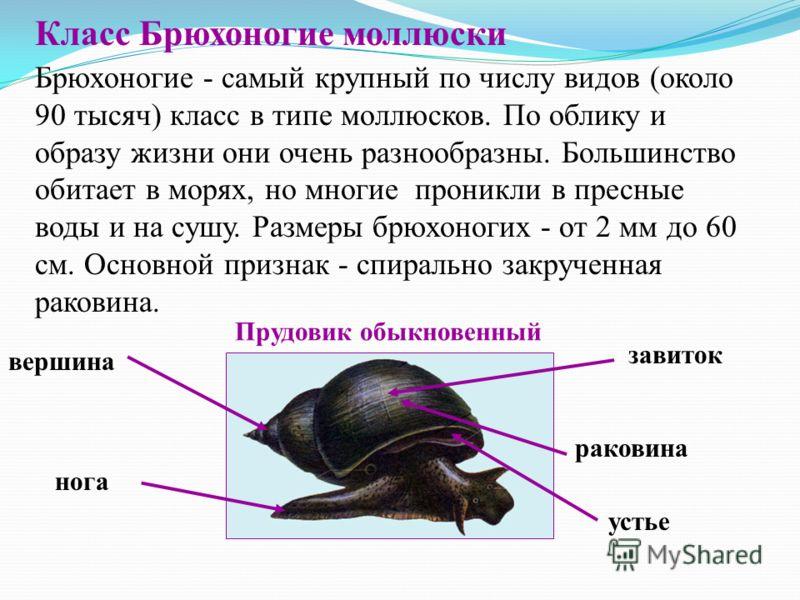 Класс Брюхоногие моллюски Брюхоногие - самый крупный по числу видов (около 90 тысяч) класс в типе моллюсков. По облику и образу жизни они очень разнообразны. Большинство обитает в морях, но многие проникли в пресные воды и на сушу. Размеры брюхоногих