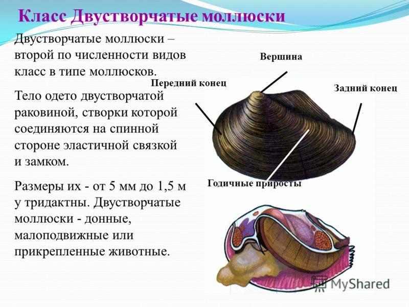 Скачать презентация по биологии 7 класс моллюски класс двустворчатые