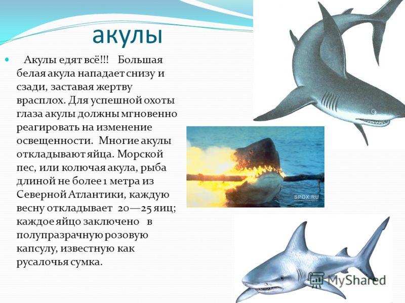 акулы Акулы едят всё!!! Большая белая акула нападает снизу и сзади, заставая жертву врасплох. Для успешной охоты глаза акулы должны мгновенно реагировать на изменение освещенности. Многие акулы откладывают яйца. Морской пес, или колючая акула, рыба д
