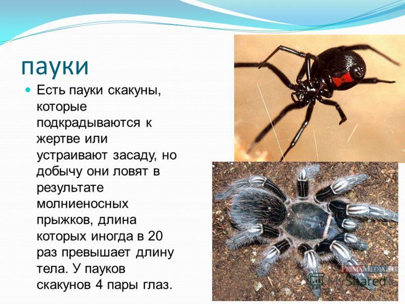 пауки Есть пауки скакуны, которые подкрадываются к жертве или устраивают засаду, но добычу они ловят в результате молниеносных прыжков, длина которых иногда в 20 раз превышает длину тела. У пауков скакунов 4 пары глаз.