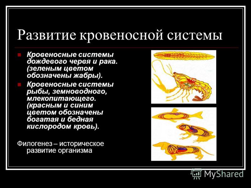 Развитие кровеносной системы Кровеносные системы дождевого червя и рака. (зеленым цветом обозначены жабры). Кровеносные системы рыбы, земноводного, млекопитающего. (красным и синим цветом обозначены богатая и бедная кислородом кровь). Филогенез – ист