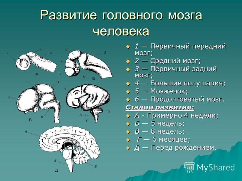 Развитие головного мозга человека 1 Первичный передний мозг; 1 Первичный передний мозг; 2 Средний мозг; 2 Средний мозг; 3 Первичный задний мозг; 3 Первичный задний мозг; 4 Большие полушария; 4 Большие полушария; 5 Мозжечок; 5 Мозжечок; 6 Продолговаты