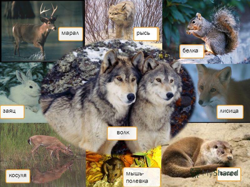 марал косуля заяц рысьбелка лисица выдра мышь- полевка волк рысь