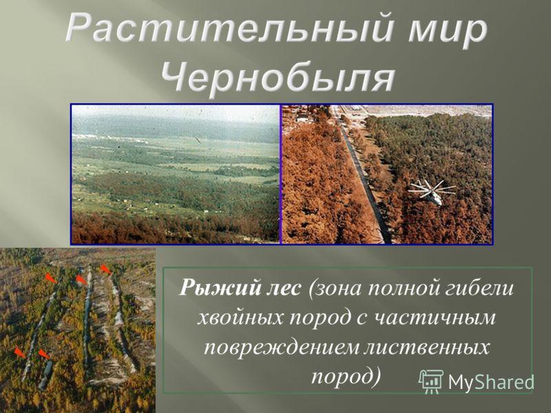 Рыжий лес (зона полной гибели хвойных пород с частичным повреждением лиственных пород)