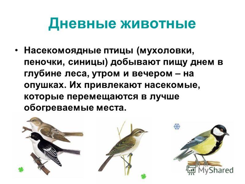 Насекомоядные птицы (мухоловки, пеночки, синицы) добывают пищу днем в глубине леса, утром и вечером – на опушках. Их привлекают насекомые, которые перемещаются в лучше обогреваемые места. Дневные животные