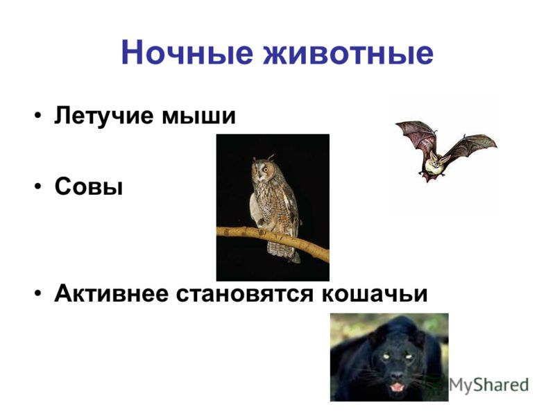 Летучие мыши Совы Активнее становятся кошачьи Ночные животные