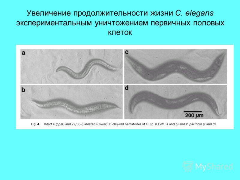Увеличение продолжительности жизни C. elegans экспериментальным уничтожением первичных половых клеток