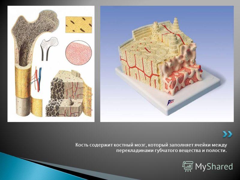 Кость содержит костный мозг, который заполняет ячейки между перекладинами губчатого вещества и полости.