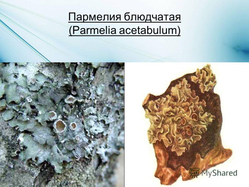 Пармелия блюдчатая (Parmelia acetabulum)