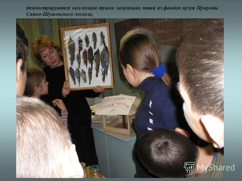демонстрируются коллекции тушек зимующих птиц из фондов музея Природы Саяно-Шушенского лесхоза,