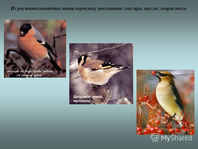 Из растительноядных птиц кормушку посещают: снегири, щеглы, свиристели