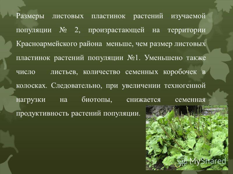 Размеры листовых пластинок растений изучаемой популяции 2, произрастающей на территории Красноармейского района меньше, чем размер листовых пластинок растений популяции 1. Уменьшено также число листьев, количество семенных коробочек в колосках. Следо