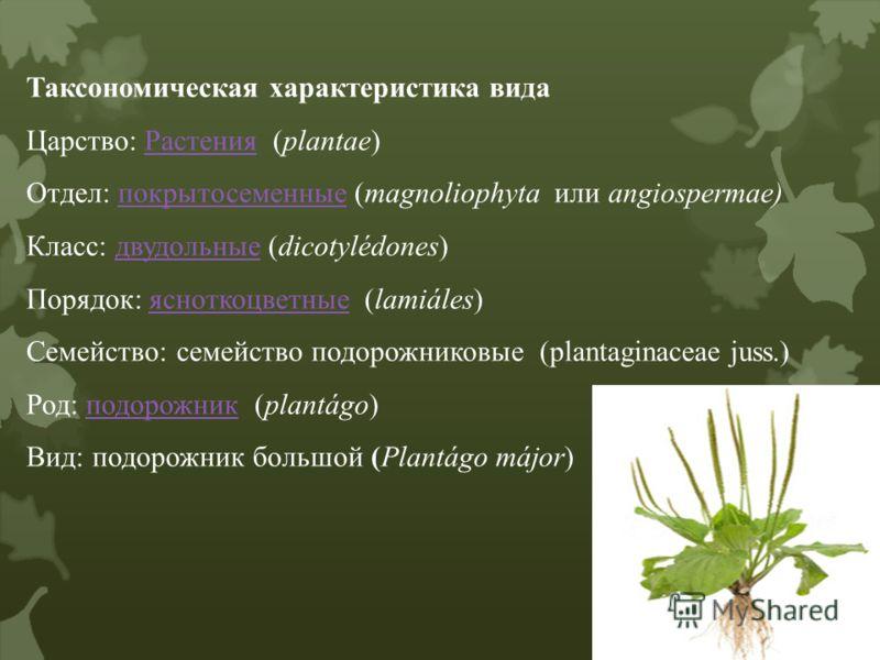 Таксономическая характеристика вида Царство: Растения (plantae)Растения Отдел: покрытосеменные (magnoliophyta или angiospermae)покрытосеменные Класс: двудольные (dicotylédones)двудольные Порядок: ясноткоцветные (lamiáles)ясноткоцветные Семейство: сем