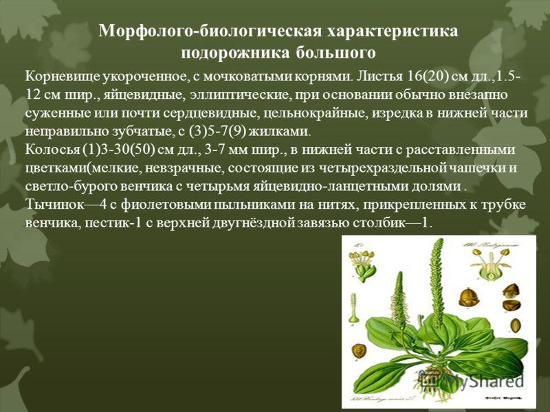 Морфолого-биологическая характеристика подорожника большого Корневище укороченное, с мочковатыми корнями. Листья 16(20) см дл.,1.5- 12 см шир., яйцевидные, эллиптические, при основании обычно внезапно суженные или почти сердцевидные, цельнокрайные, и