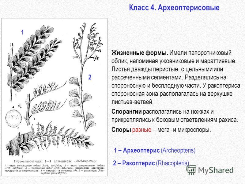 Класс 4. Археоптерисовые 1 – Археоптерис (Archeopteris) Жизненные формы. Имели папоротниковый облик, напоминая ужовниковые и мараттиевые. Листья дважды перистые, с цельными или рассеченными сегментами. Разделялись на спороносную и бесплодную части. У