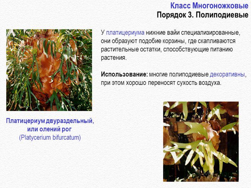 http://www.botany.com/8.24.gif http://www.botany.com/8.23.gif Класс Многоножковые Порядок 3. Полиподиевые У платицериума нижние вайи специализированные, они образуют подобие корзины, где скапливаются растительные остатки, способствующие питанию расте