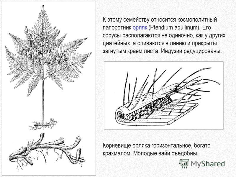 К этому семейству относится космополитный папоротник орляк (Pteridium aquilinum). Его сорусы располагаются не одиночно, как у других циатейных, а сливаются в линию и прикрыты загнутым краем листа. Индузии редуцированы. Корневище орляка горизонтальное