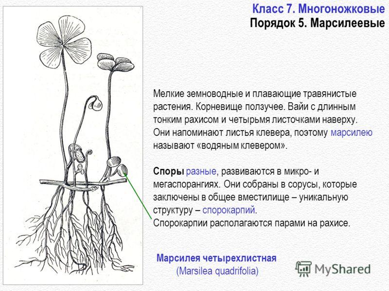 Класс 7. Многоножковые Порядок 5. Марсилеевые Мелкие земноводные и плавающие травянистые растения. Корневище ползучее. Вайи с длинным тонким рахисом и четырьмя листочками наверху. Они напоминают листья клевера, поэтому марсилею называют «водяным клев