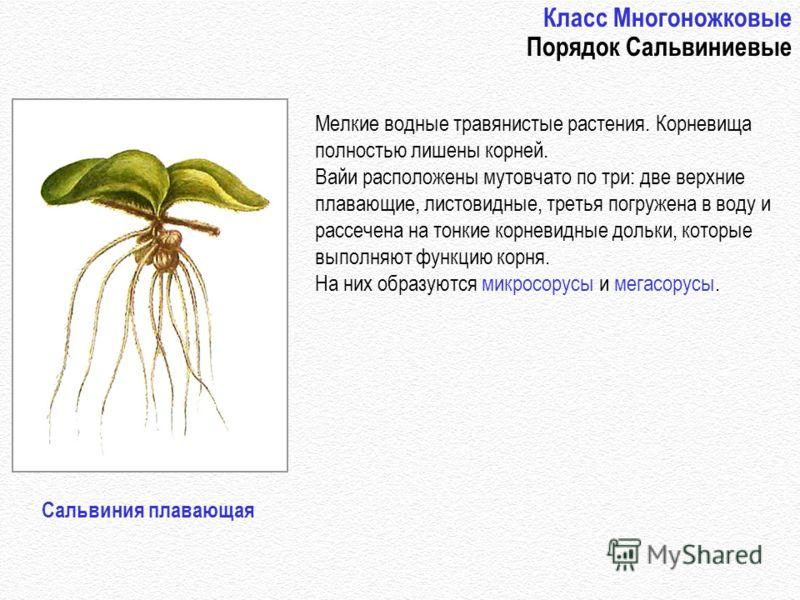 Класс Многоножковые Порядок Сальвиниевые Мелкие водные травянистые растения. Корневища полностью лишены корней. Вайи расположены мутовчато по три: две верхние плавающие, листовидные, третья погружена в воду и рассечена на тонкие корневидные дольки, к