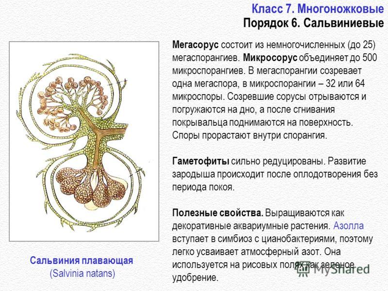 Класс 7. Многоножковые Порядок 6. Сальвиниевые Мегасорус состоит из немногочисленных (до 25) мегаспорангиев. Микросорус объединяет до 500 микроспорангиев. В мегаспорангии созревает одна мегаспора, в микроспорангии – 32 или 64 микроспоры. Созревшие со