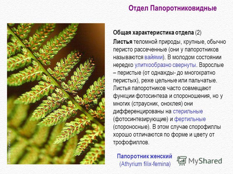 Общая характеристика отдела (2) Листья теломной природы, крупные, обычно перисто рассеченные (они у папоротников называются вайями). В молодом состоянии нередко улиткообразно свернуты. Взрослые – перистые (от однажды- до многократно перистых), реже ц