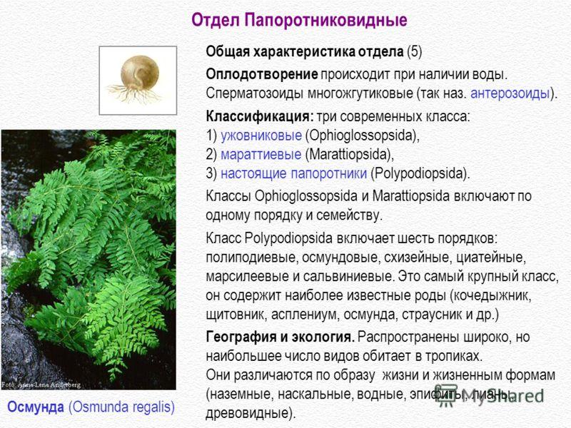 Общая характеристика отдела (5) Оплодотворение происходит при наличии воды. Сперматозоиды многожгутиковые (так наз. антерозоиды). Классификация: три современных класса: 1) ужовниковые (Ophioglossopsida), 2) мараттиевые (Marattiopsida), 3) настоящие п