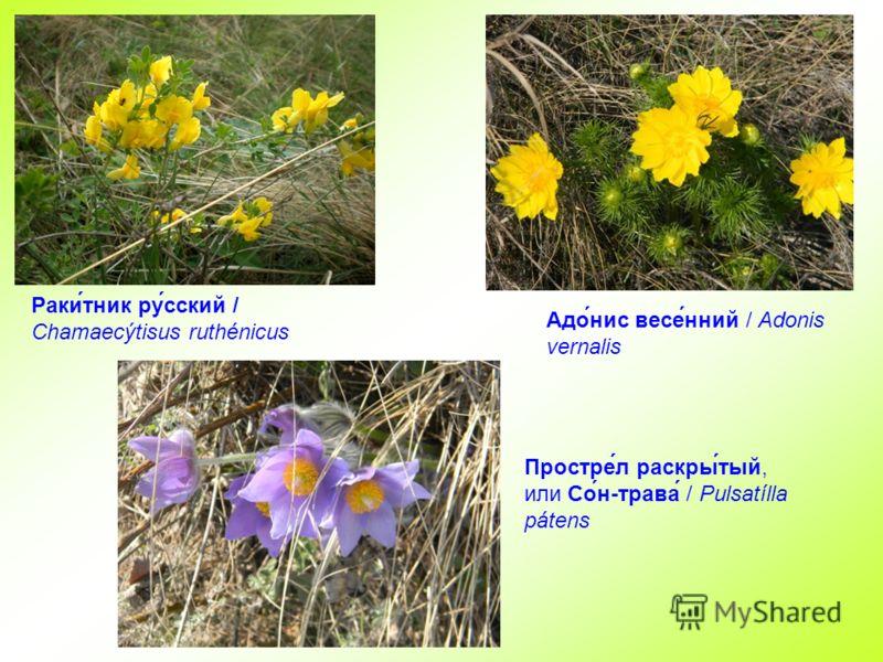 Раки́тник ру́сский / Chamaecýtisus ruthénicus Простре́л раскры́тый, или Со́н-трава́ / Pulsatílla pátens Адо́нис весе́нний / Adonis vernalis