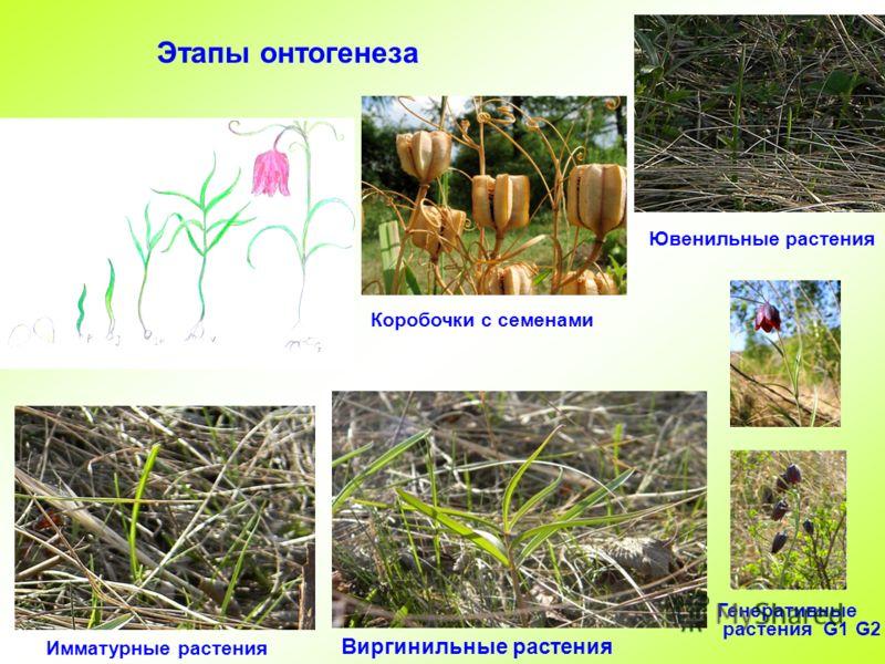 Этапы онтогенеза Коробочки с семенами Ювенильные растения Имматурные растения Виргинильные растения Генеративные растения G1 G2