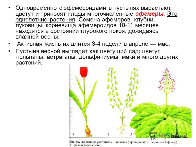 Одновременно с эфемероидами в пустынях вырастают, цветут и приносят плоды многочисленные эфемеры. Это однолетние растения. Семена эфемеров, клубни, луковицы, корневища эфемероидов 10-11 месяцев находятся в состоянии глубокого покоя, дожидаясь влажной