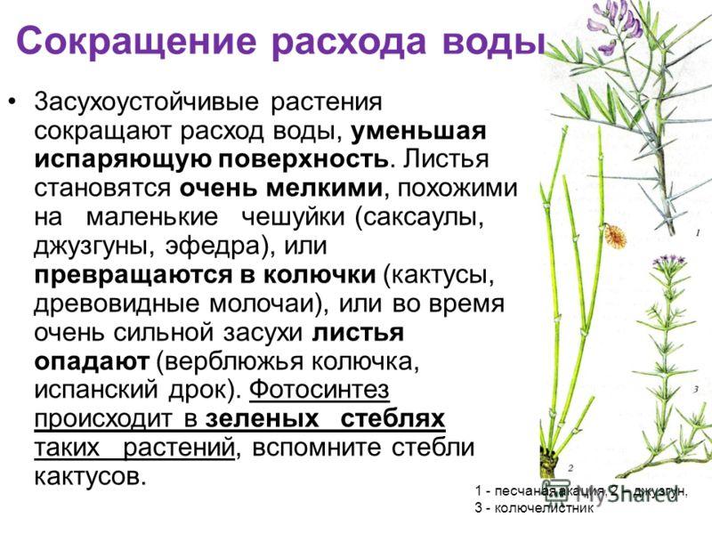 3асухоустойчивые растения сокращают расход воды, уменьшая испаряющую поверхность. Листья становятся очень мелкими, похожими на маленькие чешуйки (саксаулы, джузгуны, эфедра), или превращаются в колючки (кактусы, древовидные молочаи), или во время оче
