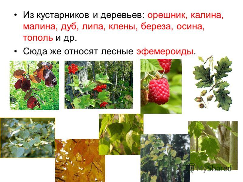 Из кустарников и деревьев: орешник, калина, малина, дуб, липа, клены, береза, осина, тополь и др. Сюда же относят лесные эфемероиды.