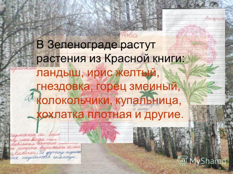 В Зеленограде растут растения из Красной книги: ландыш, ирис желтый, гнездовка, горец змеиный, колокольчики, купальница, хохлатка плотная и другие.