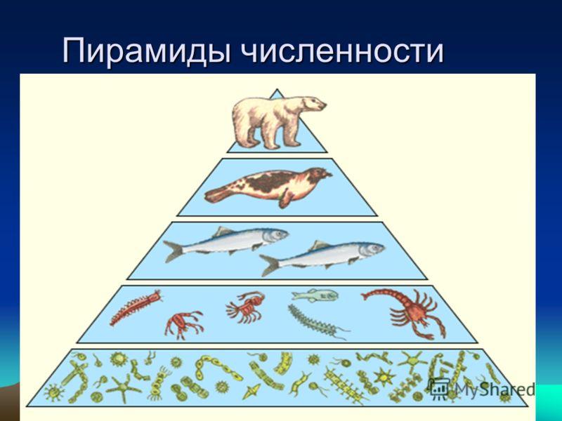 Пирамиды численности