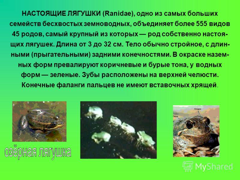 НАСТОЯЩИЕ ЛЯГУШКИ (Ranidae), одно из самых больших семейств бесхвостых земноводных, объединяет более 555 видов 45 родов, самый крупный из которых род собственно настоя- щих лягушек. Длина от 3 до 32 см. Тело обычно стройное, с длин- ными (прыгательны