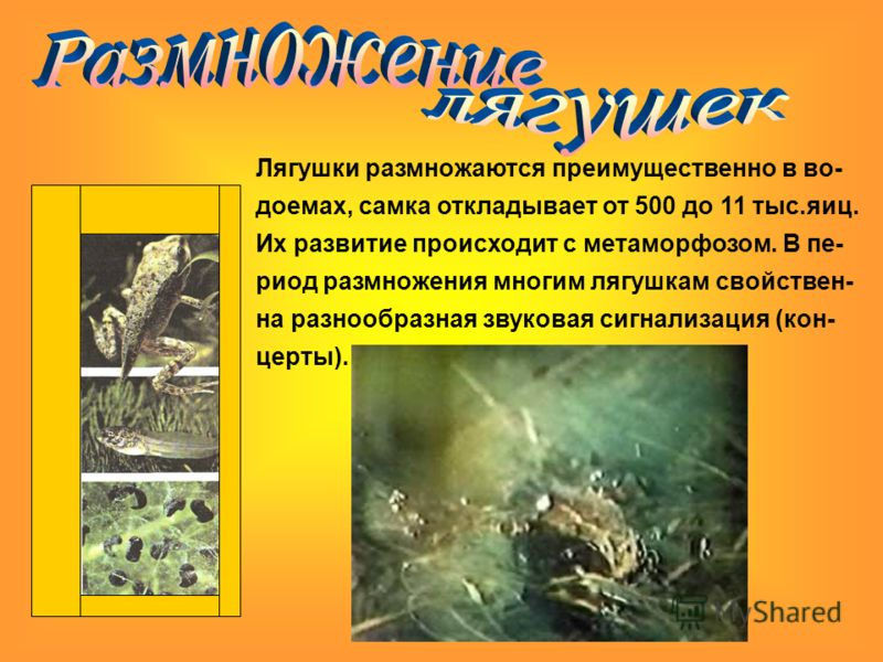 Лягушки размножаются преимущественно в во- доемах, самка откладывает от 500 до 11 тыс.яиц. Их развитие происходит с метаморфозом. В пе- риод размножения многим лягушкам свойствен- на разнообразная звуковая сигнализация (кон- церты).