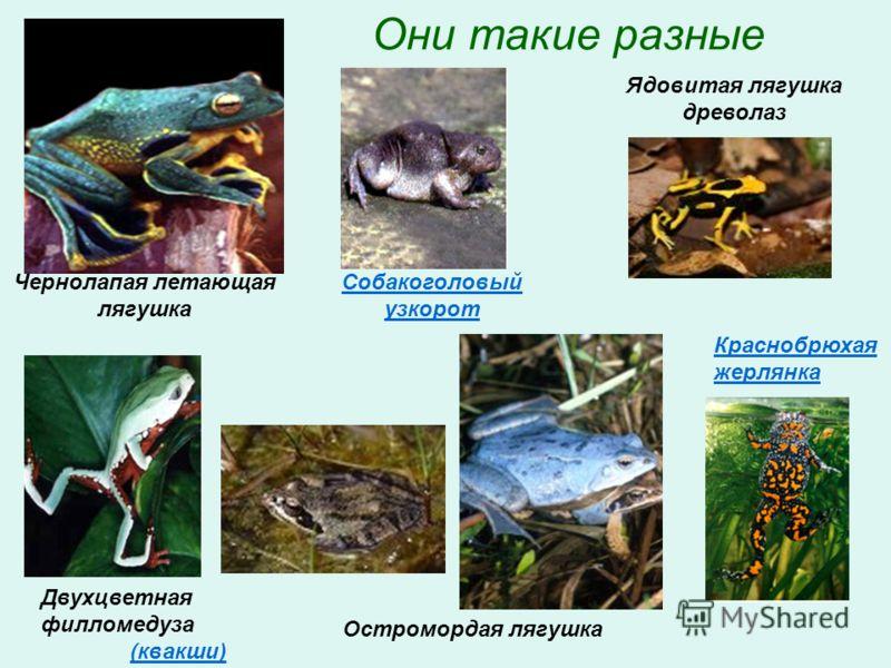 Они такие разные Чернолапая летающая лягушка Двухцветная филломедуза (квакши) Ядовитая лягушка древолаз Собакоголовый узкорот Краснобрюхая жерлянка Остромордая лягушка