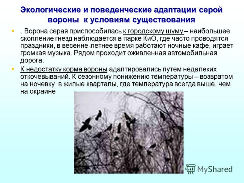 Экологические и поведенческие адаптации серой вороны к условиям существования. Ворона серая приспособилась к городскому шуму – наибольшее скопление гнезд наблюдается в парке КиО, где часто проводятся праздники, в весенне-летнее время работают ночные