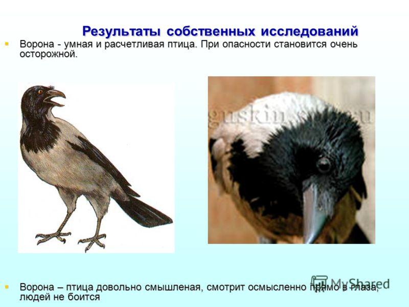 Результаты собственных исследований Ворона - умная и расчетливая птица. При опасности становится очень осторожной. Ворона - умная и расчетливая птица. При опасности становится очень осторожной. Ворона – птица довольно смышленая, смотрит осмысленно пр