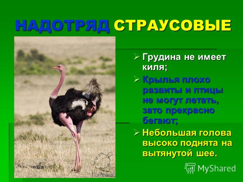 НАДОТРЯД СТРАУСОВЫЕ Грудина не имеет киля; Грудина не имеет киля; Крылья плохо развиты и птицы не могут летать, зато прекрасно бегают; Крылья плохо развиты и птицы не могут летать, зато прекрасно бегают; Небольшая голова высоко поднята на вытянутой ш