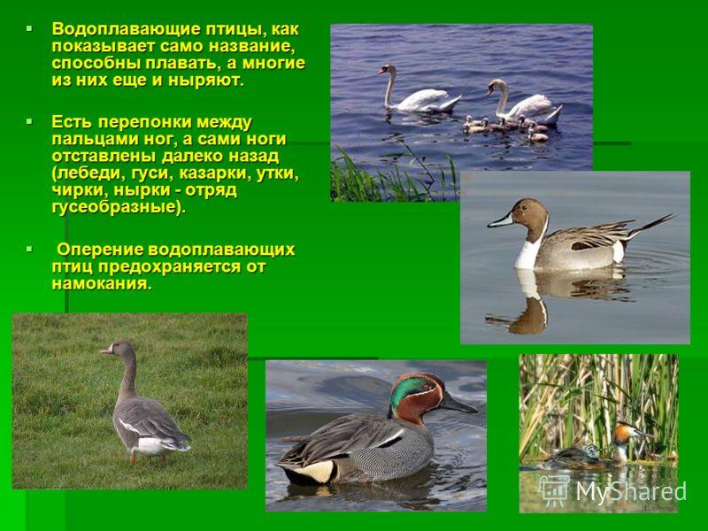 Водоплавающие птицы, как показывает само название, способны плавать, а многие из них еще и ныряют. Водоплавающие птицы, как показывает само название, способны плавать, а многие из них еще и ныряют. Есть перепонки между пальцами ног, а сами ноги отста