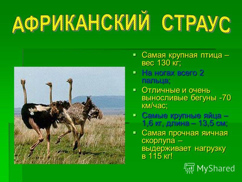 Самая крупная птица – вес 130 кг; Самая крупная птица – вес 130 кг; На ногах всего 2 пальца; На ногах всего 2 пальца; Отличные и очень выносливые бегуны -70 км/час; Отличные и очень выносливые бегуны -70 км/час; Самые крупные яйца – 1,6 кг, длина – 1