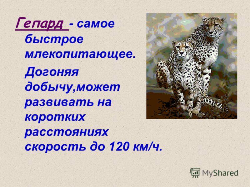 Гепард - самое быстрое млекопитающее. Догоняя добычу,может развивать на коротких расстояниях скорость до 120 км/ч.