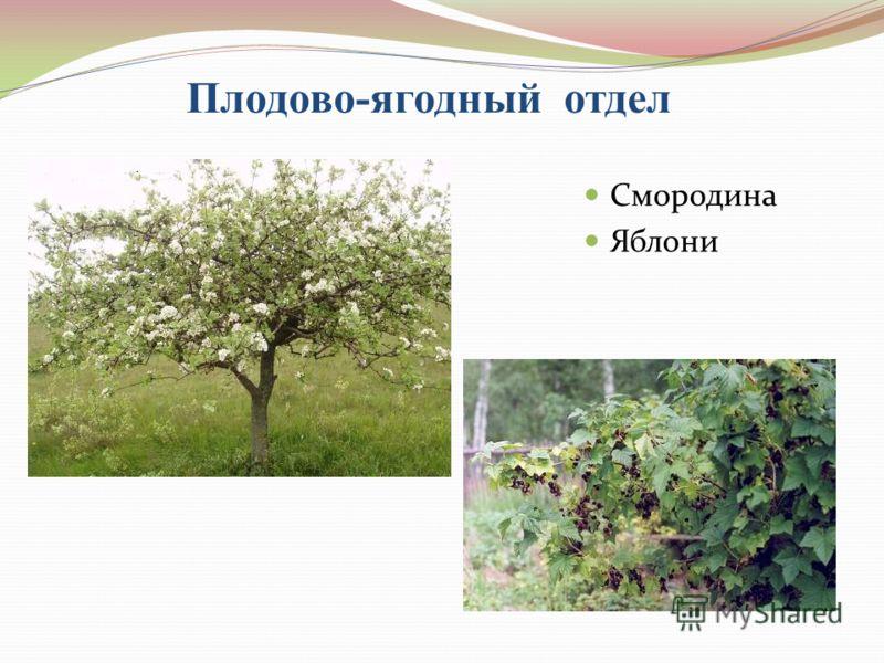 Плодово-ягодный отдел Смородина Яблони