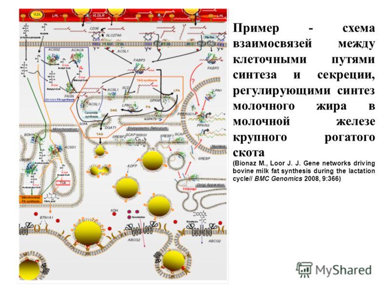 Пример - схема взаимосвязей между клеточными путями синтеза и секреции, регулирующими синтез молочного жира в молочной железе крупного рогатого скота (Bionaz M., Loor J. J. Gene networks driving bovine milk fat synthesis during the lactation сycle//