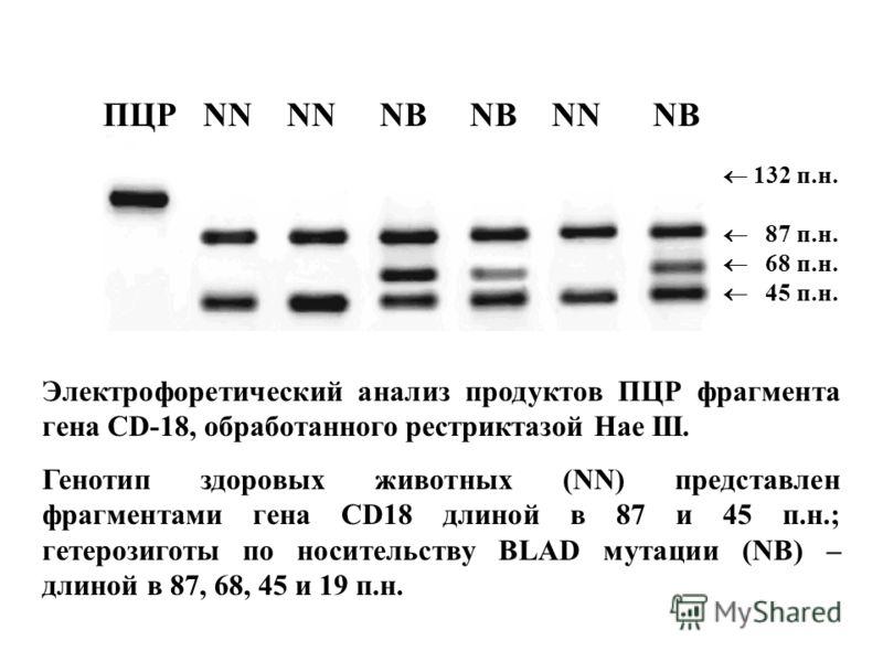 ПЦР NN NN NB NB NN NB 132 п.н. 87 п.н. 68 п.н. 45 п.н. Электрофоретический анализ продуктов ПЦР фрагмента гена CD-18, обработанного рестриктазой Hae III. Генотип здоровых животных (NN) представлен фрагментами гена CD18 длиной в 87 и 45 п.н.; гетерози