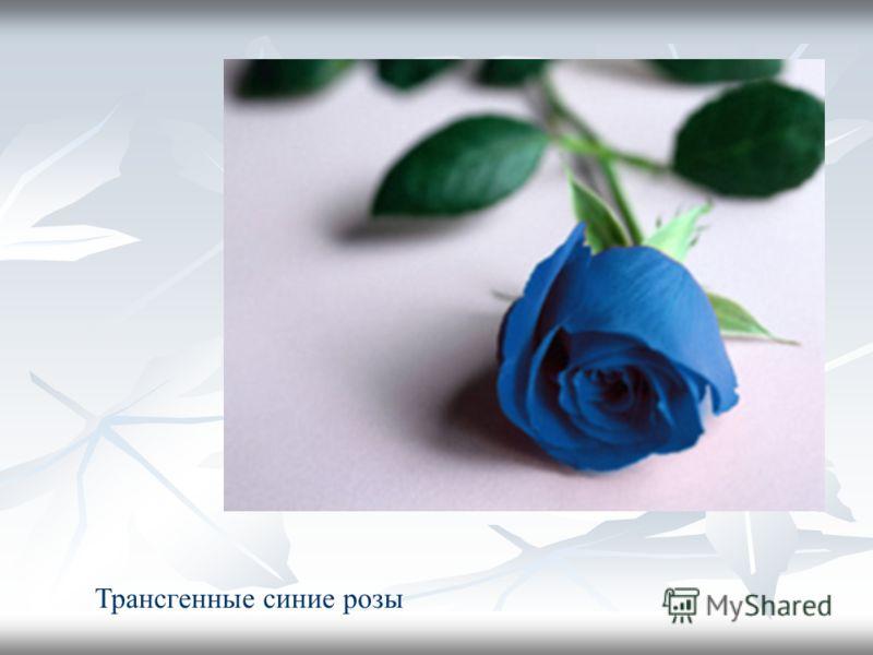 Трансгенные синие розы