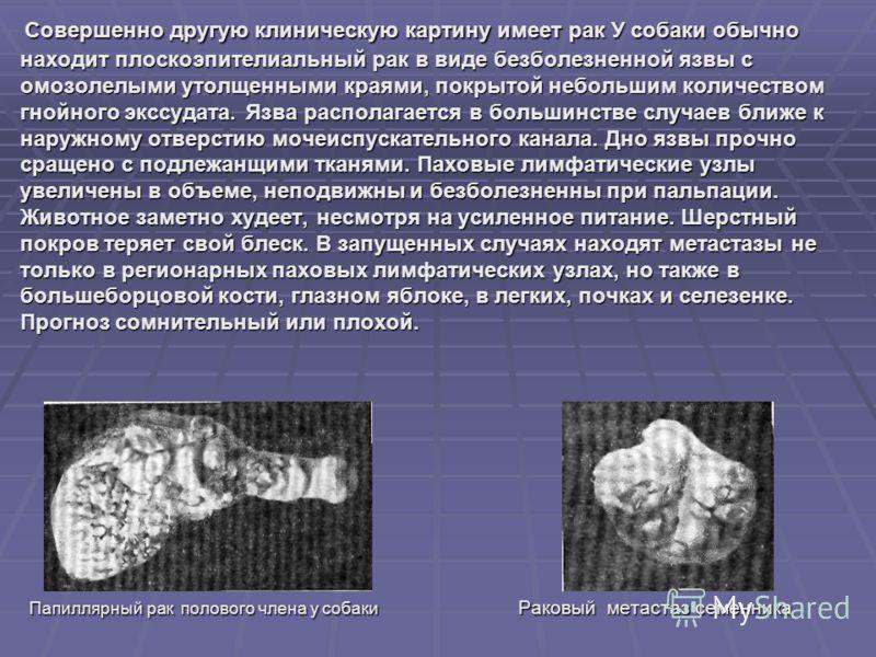 Совершенно другую клиническую картину имеет рак У собаки обычно находит плоскоэпителиальный рак в виде безболезненной язвы с омозолелыми утолщенными краями, покрытой небольшим количеством гнойного экссудата. Язва располагается в большинстве случаев б