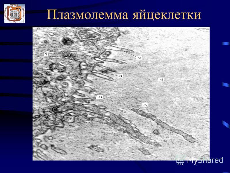 Плазмолемма яйцеклетки