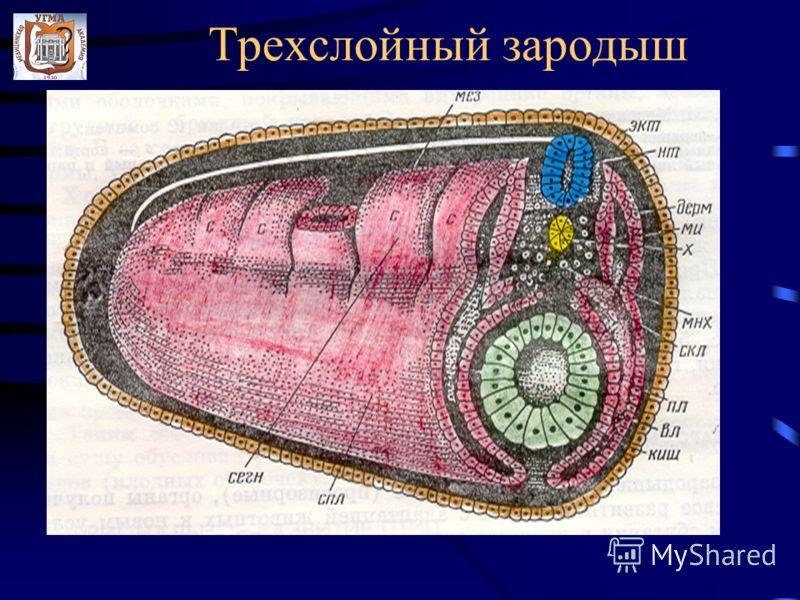 Трехслойный зародыш